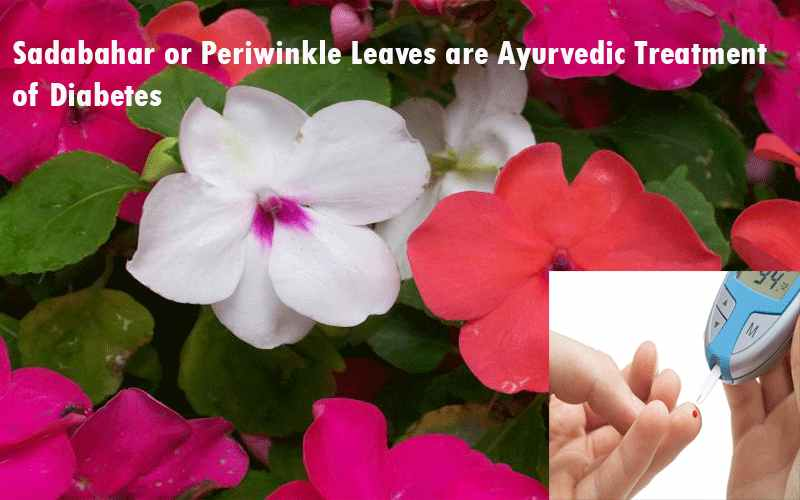 Sadabahar or Periwinkle Leaves are Ayurvedic Treatment of Diabetes
